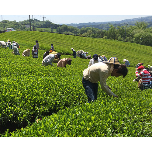 無農薬・無化学肥料の「桐箱入り煎茶」