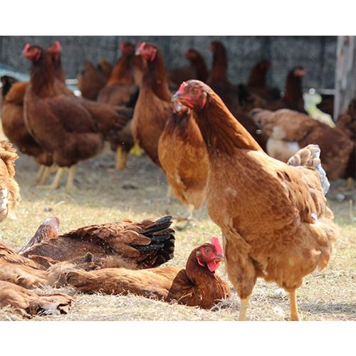 比内地鶏のカレー&ハヤシライスセット
