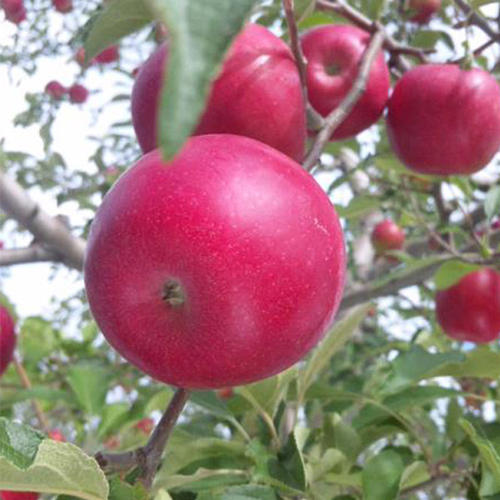 農家が干したリンゴ 6種食べ比べセット